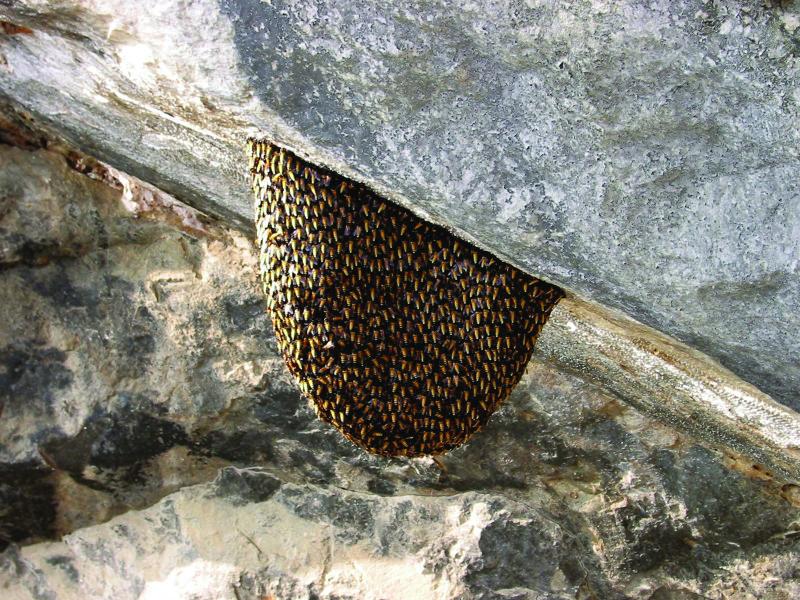 Asian Giant Honey Bee (Apis Dorsata)